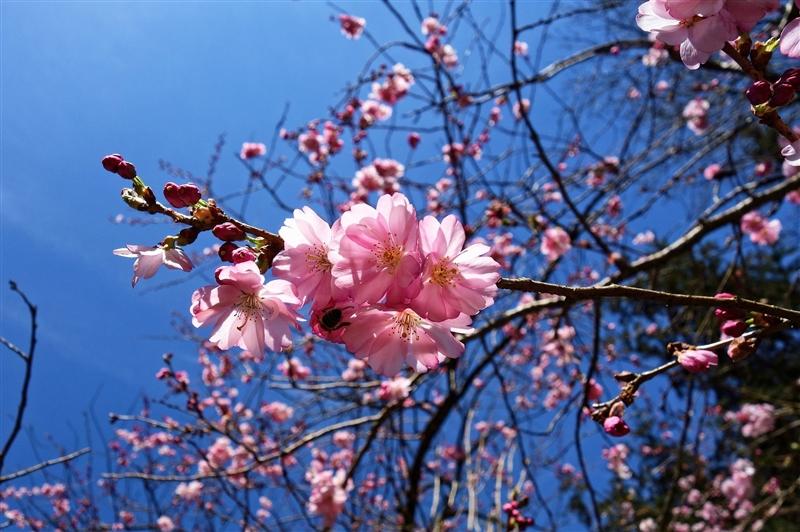 Japonia Ciresilor Infloriti