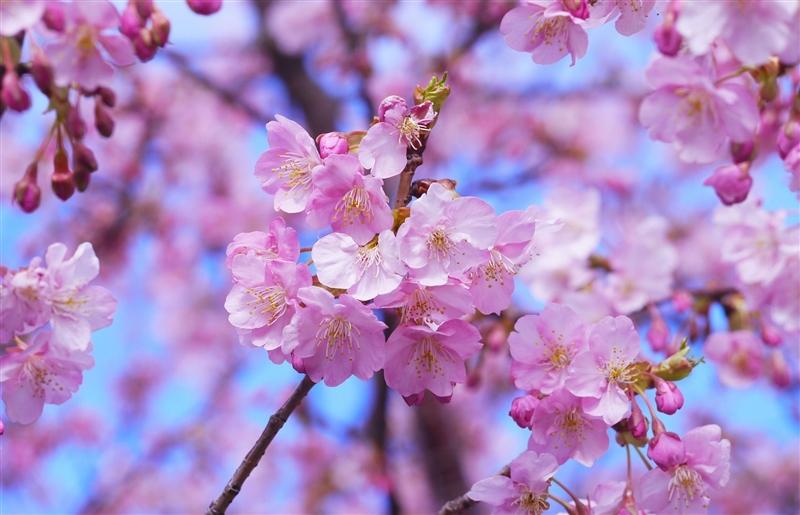 Festivalul Ciresilor in Japonia