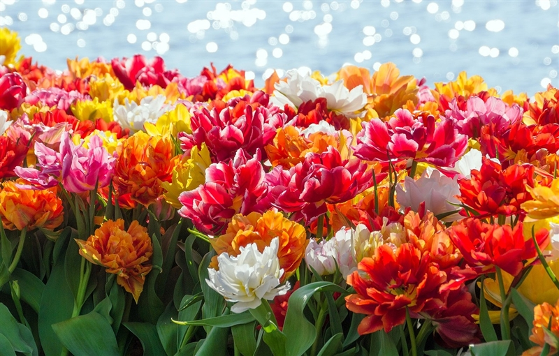Parada Florilor la Amsterdam