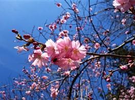 Japonia Ciresilor Infloriti · Japonia Ciresilor Infloriti
