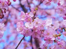 Japonia - Festivalul Ciresilor In Floare · Japonia - Festivalul Ciresilor In Floare