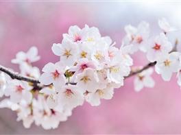 Japonia - Sarbatoarea Ciresilor · Japonia - Sarbatoarea Ciresilor