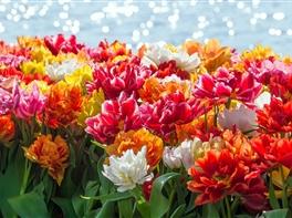 Parada Florilor la Amsterdam · Parada Florilor la Amsterdam